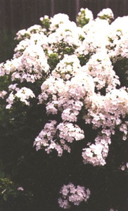 Phlox, Garden 'David'