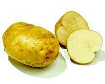 Potatoes_solanum_tuberosum_irish_cobbler-1.full