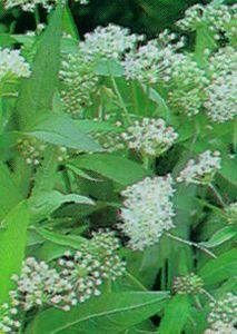 Milkweed, Swamp 'Ice Ballet'