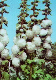 Perennials_alcea_rosea_chater_s_white-1.full
