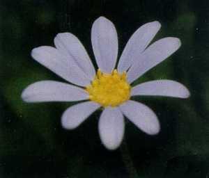 Daisy, 'Blue Felicia'