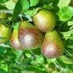 Pear Tree, Seckel standard