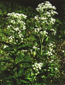 Eupatorium, 'Bartered Bride'