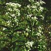 Perennials_eupatorium_x_maculatum_bartered_bride-1.thumb