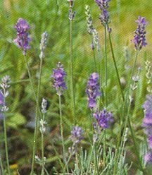 Lavender, 'Twickel Purple'