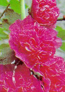 Perennials_alcea_rosea_chater_s_pink-1.full