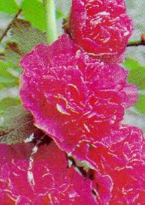 Hollyhock, 'Chater's Pink'
