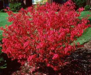 Burning Bush, Dwarf