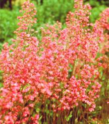 Coral Bells, 'Rosemary Bloom'