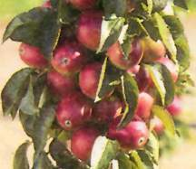 Crab Apple Tree, Miniature Stark® Colonnade®  'Stark Maypole Flowering Crab'