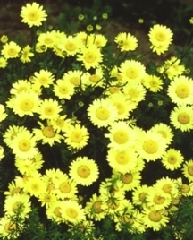All_plants_anthemis_tinctoria_moonlight-1.full