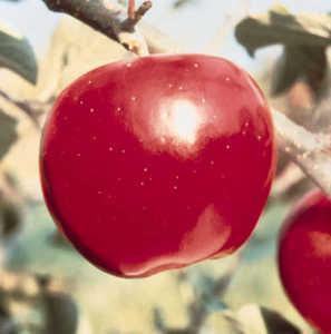 Apple Tree, Dwarf Jonathan 'Stark® Jon-A-Red'