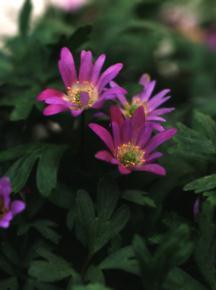 Anemone, 'Violet Star'