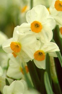Daffodil, Tazetta 'Geranium'