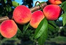 Peach Tree, Dwarf 'Com-Pact Redhaven'