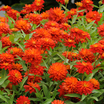 Zinnia 'Double Zahara Fire'