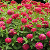 Zinnia 'Double Zahara Cherry'