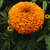 Marigolds: Tagetes erecta 'Moonsong Deep Orange'
