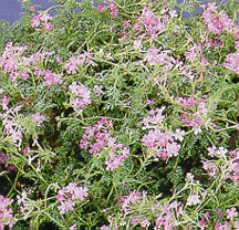 Verbena, Tapien® 'Soft Pink'