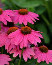 Purple_coneflower_echinacea_purpurea_powwow_wild_berry-2