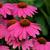Coneflowers: Echinacea purpurea 'PowWow Wild Berry'