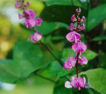 Bean, Hyacinth 'Ruby Moon'