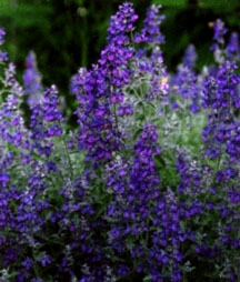 Catmint, 'Blue Wonder'