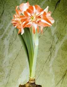 Amaryllis, Large-Flowering African 'Razzmatazz'