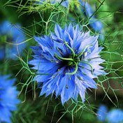 Organic-love-in-a-mist-nigella.detail