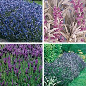 Lavender.detail