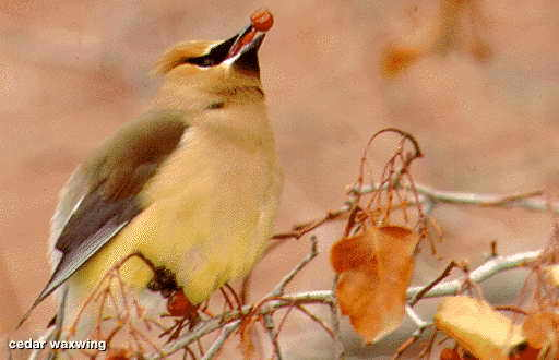 Cedar_waxwing_bird.full