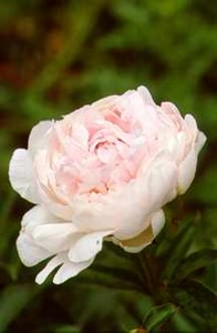 Peony, Double 'Coral Queen' (Sass 1937)