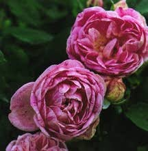 Rose, Antique Bourbon 'Honorie de Brabant' (Date Unknown)