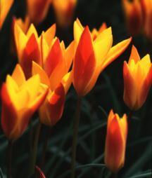 Tulips_tulipa_clusiana_var._chrysantha-1.full