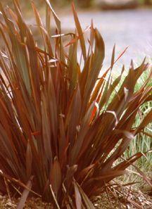 New Zealand Flax, Purple