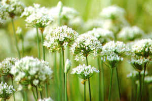 Chives.detail