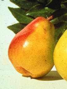 Pear Tree, Comice dwarf