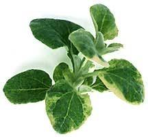 Licorice-herbs.full