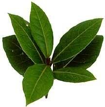 Bay-laurel-herbs.detail