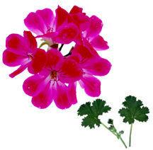 Scented-geranium.detail