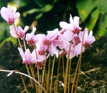 Cyclamen_cyclamen_hederifolium-1.full
