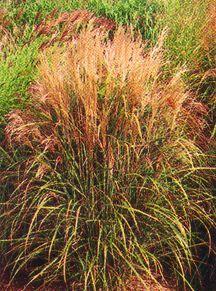 Grass, Maiden 'Bluttenwonder'