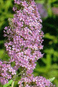 Butterfly Bush, Dartmoor