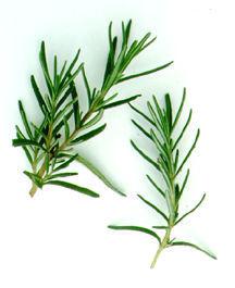 Rosemary, White-Flowered