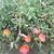 Annuals: Portulaca oleracea