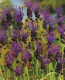 Hyacinths_muscari_comosum-1.full