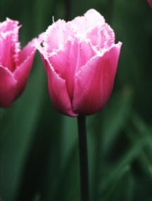 Tulips_tulipa_blue_heron-1.full
