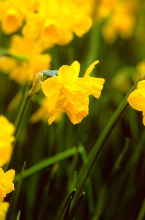 Daffodils_and_narcissus_narcissus_jonquilla_quail-1.full