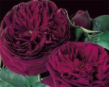 Rose, English Standard Tree-form 'The Prince' (Austin 1990)