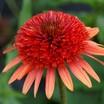 Echinacea_coral_reef_.thumb